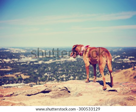 a dog sitting on a mountain top looking over a skyline toned with a retro vintage instagram filter  - stock photo