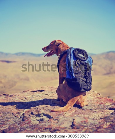 a dog sitting on a mountain top with a canvas backpack looking over a skyline toned with a retro vintage instagram filter  - stock photo