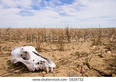 A dog skull lies in a desolate field - stock photo