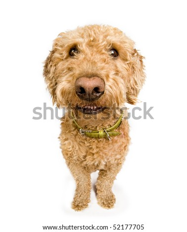 A dog (spanish waterdog breed) with a big grin - stock photo