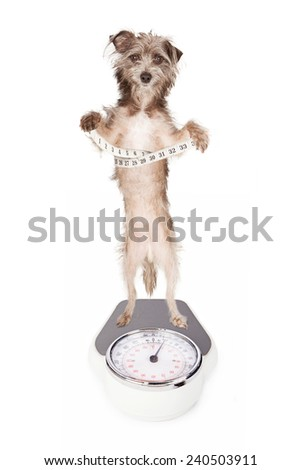 A dog standing up on a weight scale while holding a measuring tape around his waist - stock photo