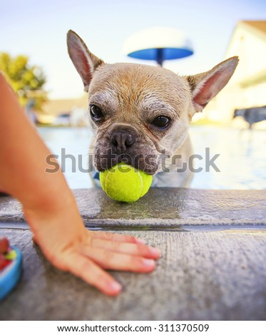 a dog swimming at a local public pool at sunset with a child hand in front of a ball - stock photo