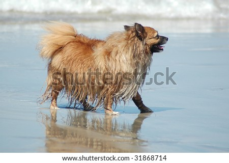 a dog walking on the beach - stock photo