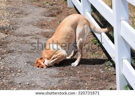 A dog (yellow Labrador Retriever (lab), burying head in sand, after chasing a ground squirrel into a hole, in the hills of Monterey, California, USA. - stock photo