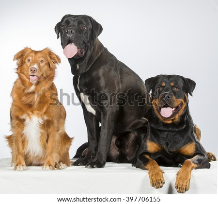 A doggy trio. Three dogs in a studio. The dog breeds are Nova scotia duck tolling retriever, cane corso and a rottweiler.  - stock photo