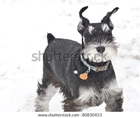 A dogs ears flap in a snow storm. - stock photo