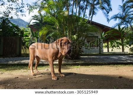 A Dogue de Bordeaux dog guards the house. - stock photo