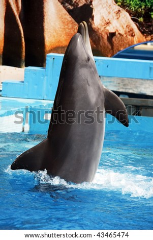 A dolphin dances on a vertical position on a waterpark.