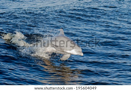 A dolphin in the Gulf of Mexico on the Alabama Gulf Coast. - stock photo