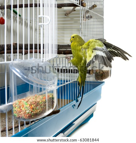 A domestic green budgie landing in his cadge after a flight. - stock photo