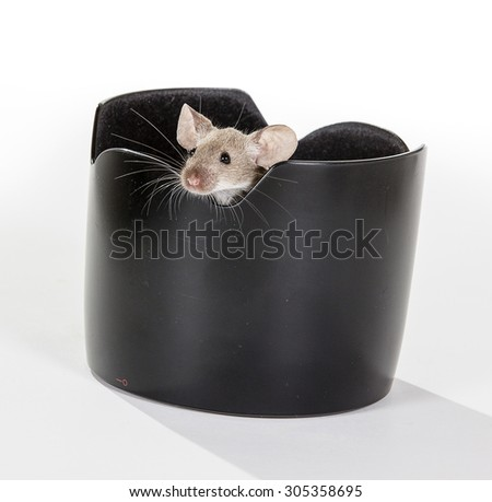 A domestic mouse is peeking from a lens hood. Image taken in a studio.