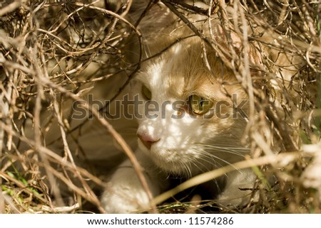 A Domestic Turkish Van Mix cat lurks under a bush and waits for prey. - stock photo