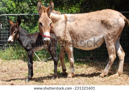 A donkey mare with her new born foal staring and standing in front of blurry background. - stock photo