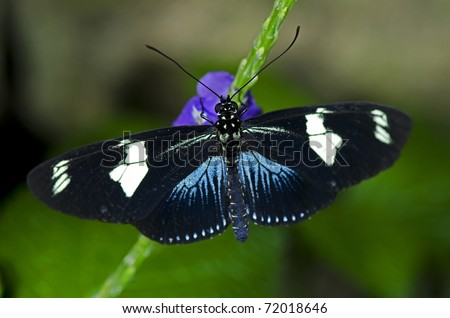 A Doris Longwing Butterfly, of the Nymphalidae family, native of the Amazon Basin through Mexico. - stock photo