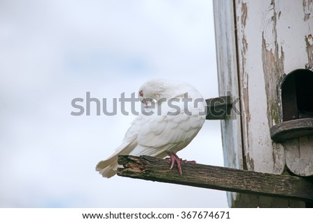 A dove preening & keeping its feathers in top condition - stock photo