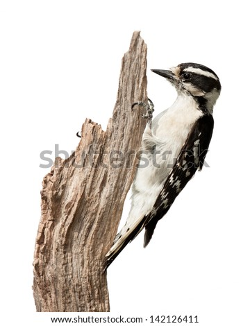 A downy woodpecker pecks at a piece of wood. Her talons grasp a branch using her tail for balance. Profile the bird displaying her black and white wing feathers and chisel-like bill. White background. - stock photo
