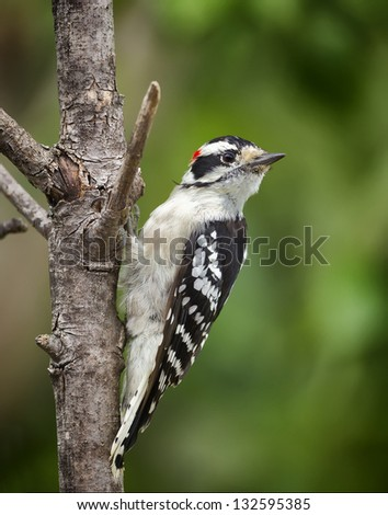 A Downy Woodpecker perched on a tree limb with a green background. - stock photo