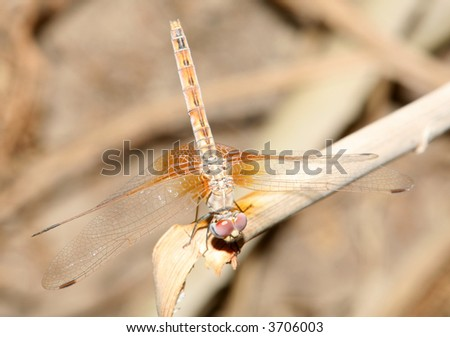 A dragonfly at rest on a plant in Qatar, Arabia.