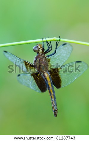 A dragonfly handing on a blade of grass - stock photo