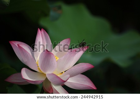 A Dragonfly Resting on A Blooming Lotus - stock photo
