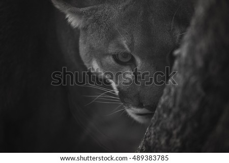 A dramatic black and white image of a mountain lion making eye contact.