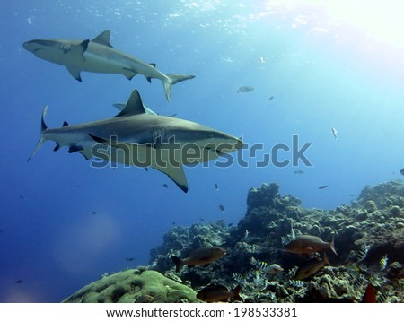 A dream shark dive. Shark feeding dive, Micronesia, Yap. White tip reef shark and grey tip reef shark - stock photo