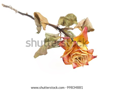 a dried rose isolated on a white colored background - stock photo