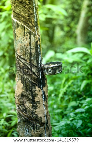 A drip pan on a rubber tree catches the milk for the gum elastic