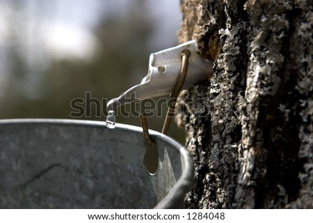 A drop of maple sap about to fall off the end of a spout into a bucket, hung on a maple tree. - stock photo