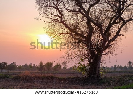 a dry big tree beside preparing agriculture field in the evening sunset