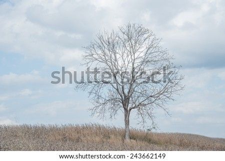 A dry  tree among dry corn field in winter season in Wanh Nam Keaw ,  thailand - stock photo