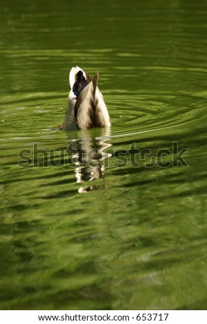 A duck diving for food