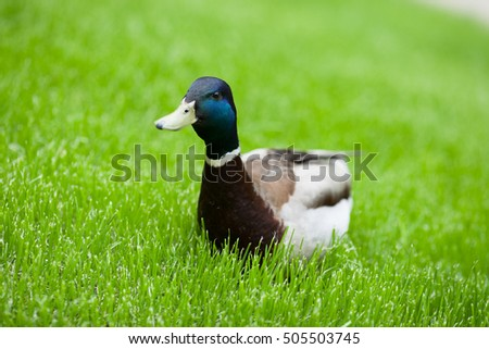 A duck sitting at the green grass