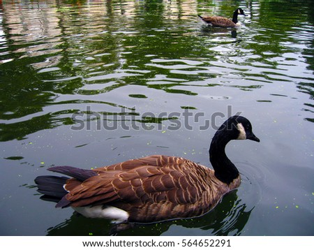 Dove On Ground Stock Photo 564652237 - Shutterstock