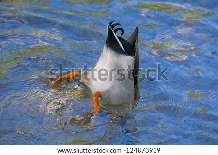 A duck while diving in the deep blue water - stock photo