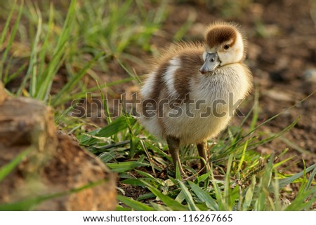 A duckling or gosling - stock photo