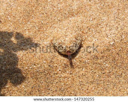 A dune adder or sidewinder snake laying in ambush smells the air. - stock photo