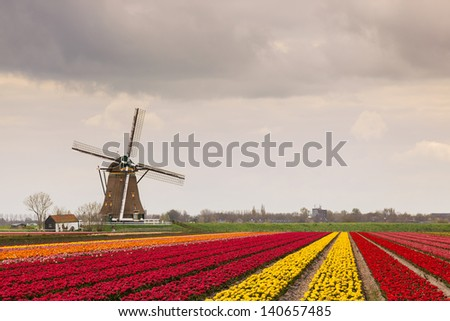 A Dutch landscape of a field yellow, red and orange tulips with a windmill in the background against Dutch cloudy sky - stock photo