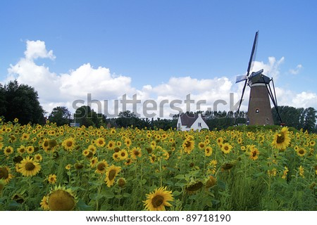 a dutch landscape with a mill and sunflower field in view