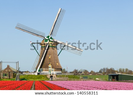A Dutch windmill with a field flowering red and rose tulips  in the foreground against a clear blue sky - stock photo