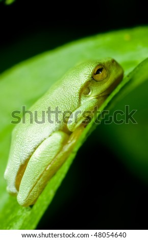A dwarf green tree frog (Litoria fallax)  sitting on a green leaf