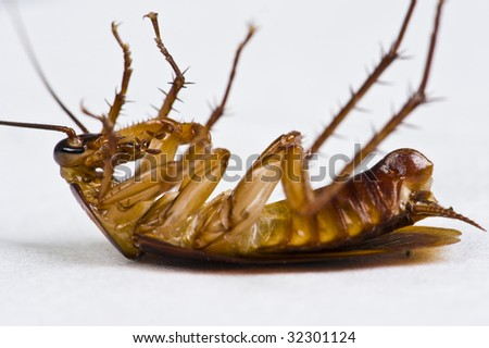 A dying cockroach lying on its back on a white tissue. - stock photo