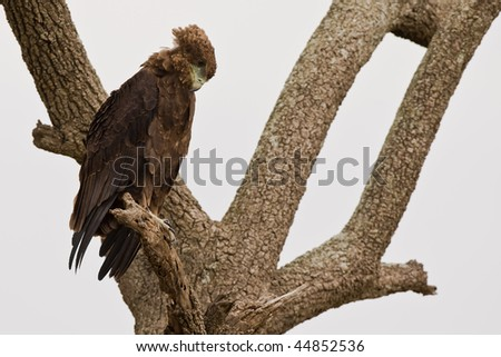 A eagle on tree watching down - stock photo