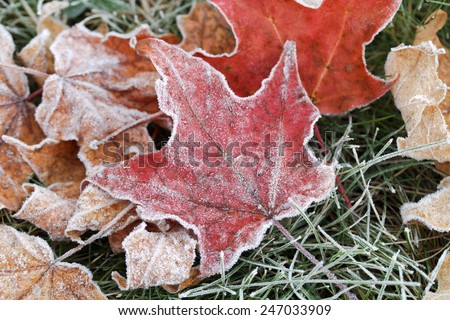 A early October frost hits the leaves pretty hard during the peak color season. Several leaves fell to the ground due to the hard frost. Grand Rapids, Michigan, USA. - stock photo