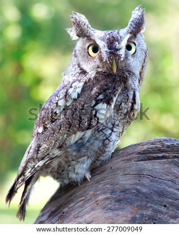 A Eastern Screech Owl perched on a tree stump - stock photo