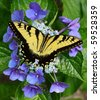 A Eastern Tiger Swallowtail butterfly feeding on a Hydrangea bloom with room for your text - stock photo