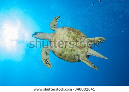 A elegant hawksbill sea turtle gliding through the water with a sun burst coming through from the surface  - stock photo