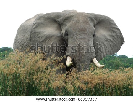a elephant in Uganda (Africa) - stock photo