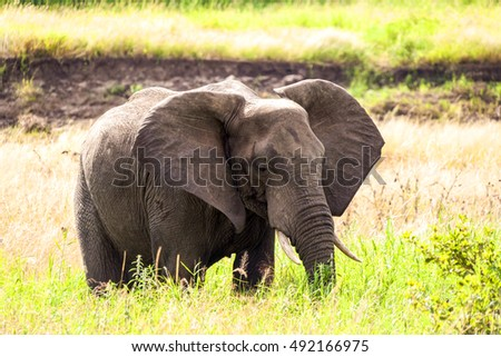 A  elephant on the move  Tanzania  Africa