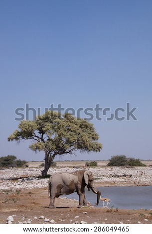 A elephant seen next to a waterhole in Etosha National Park close to Okaukuejo Rest Camp which is one of Africas best game viewing waterholes